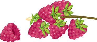 Raspberry Rubus Idaeus Stock Illustrations.