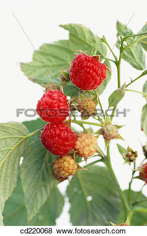 Pictures of Red Raspberry (Rubus idaeus) cd220068.