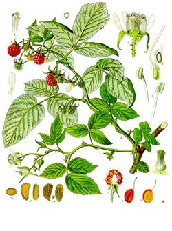 Raspberry Leaf Herb Benefits.
