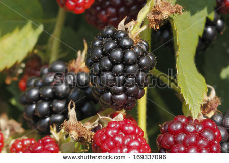 Blackberries Shiny Rubus Bramble Stock Photos, Royalty.