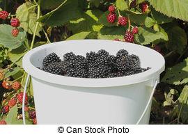 Picture of Blackberry (Rubus sectio Rubus).