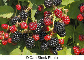Rubus Stock Photo Images. 1,693 Rubus royalty free images and.