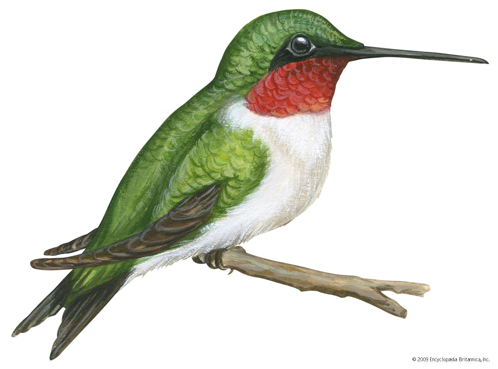 Hummingbird clipart ruby throated hummingbird, Picture.