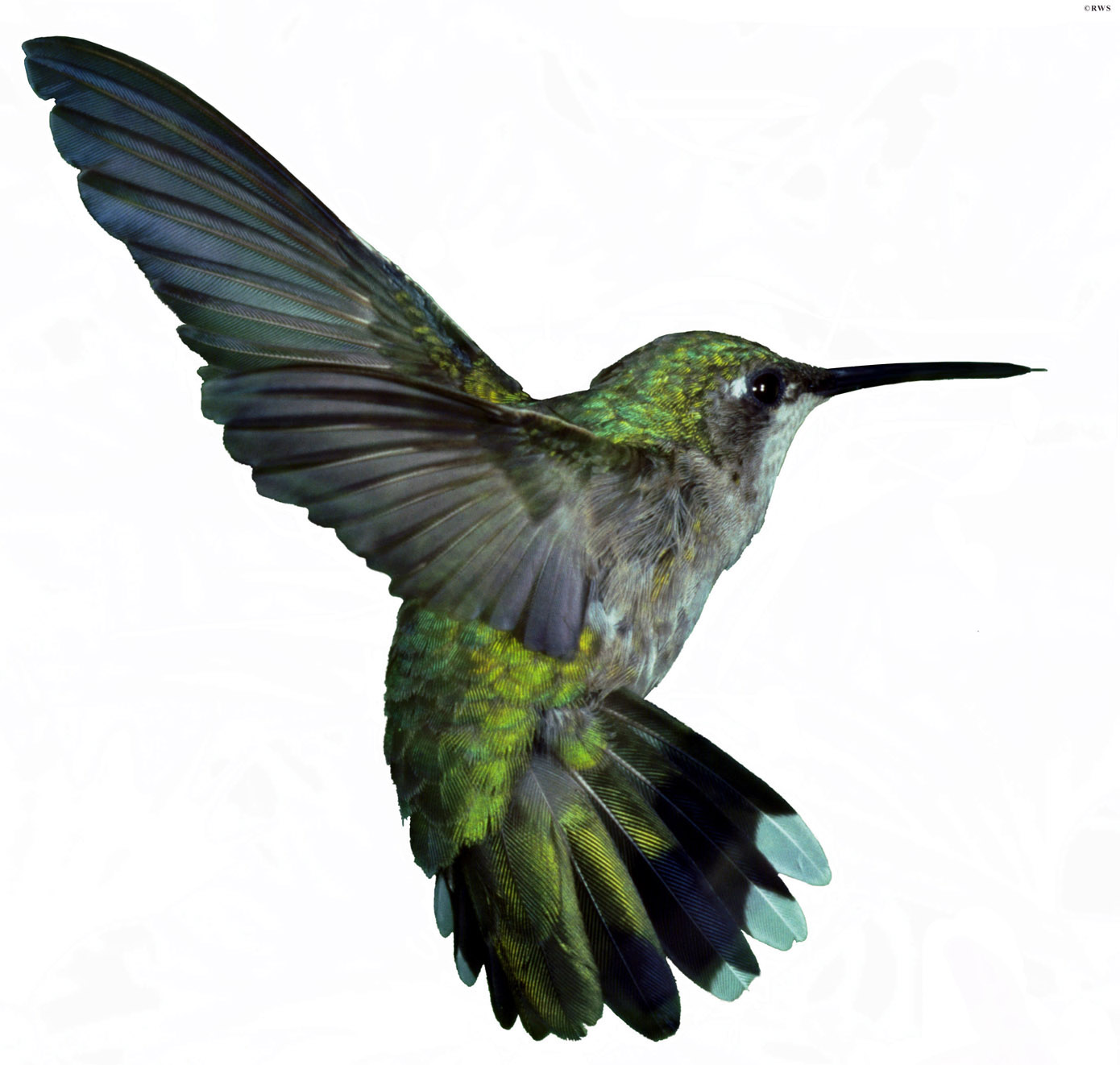 Ruby Throated Hummingbird Clipart.