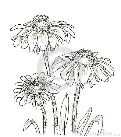 Rudbeckia Stock Illustrations.