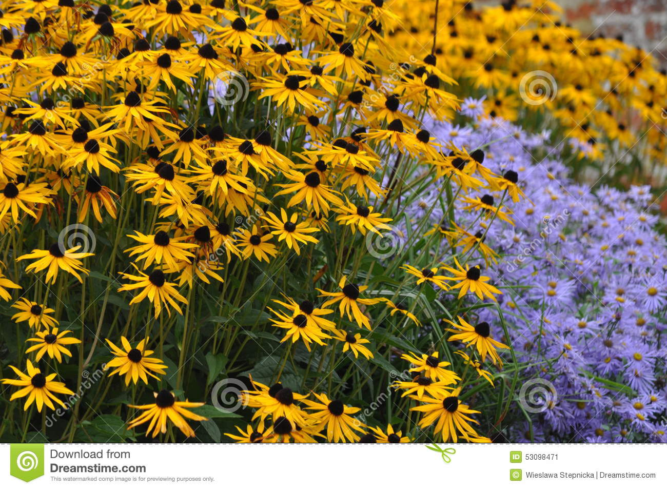 Rudbeckia Fulgida With Aster Flowers Stock Photo.