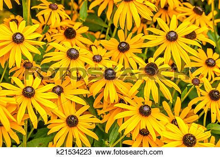 Stock Photo of Yellow Rudbeckia Fulgida flowers k21534223.