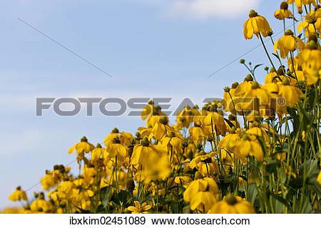 Stock Photograph of Yellow Coneflowers (Rudbeckia fulgida.
