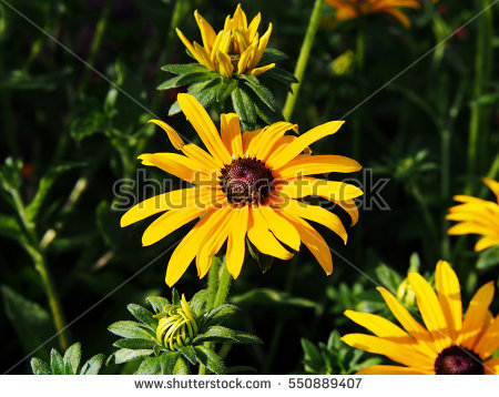 Rudbeckia Stock Images, Royalty.