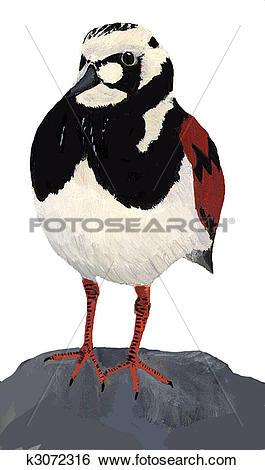 Stock Illustration of Ruddy Turnstone k3072316.