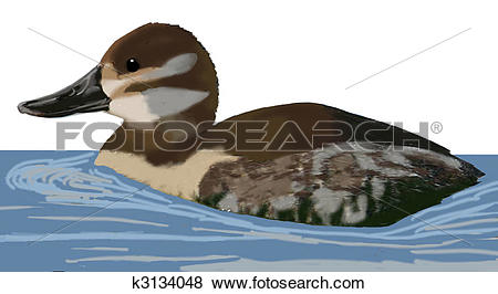Stock Illustration of Ruddy Duck k3134048.