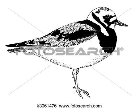 Stock Illustration of Ruddy Turnstone k3061476.
