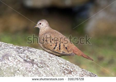 """ruddy_ground_dove"" Stock Photos, Royalty."