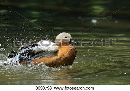 Pictures of Ruddy Shelduck (Tadorna ferruginea) flapping wings on.