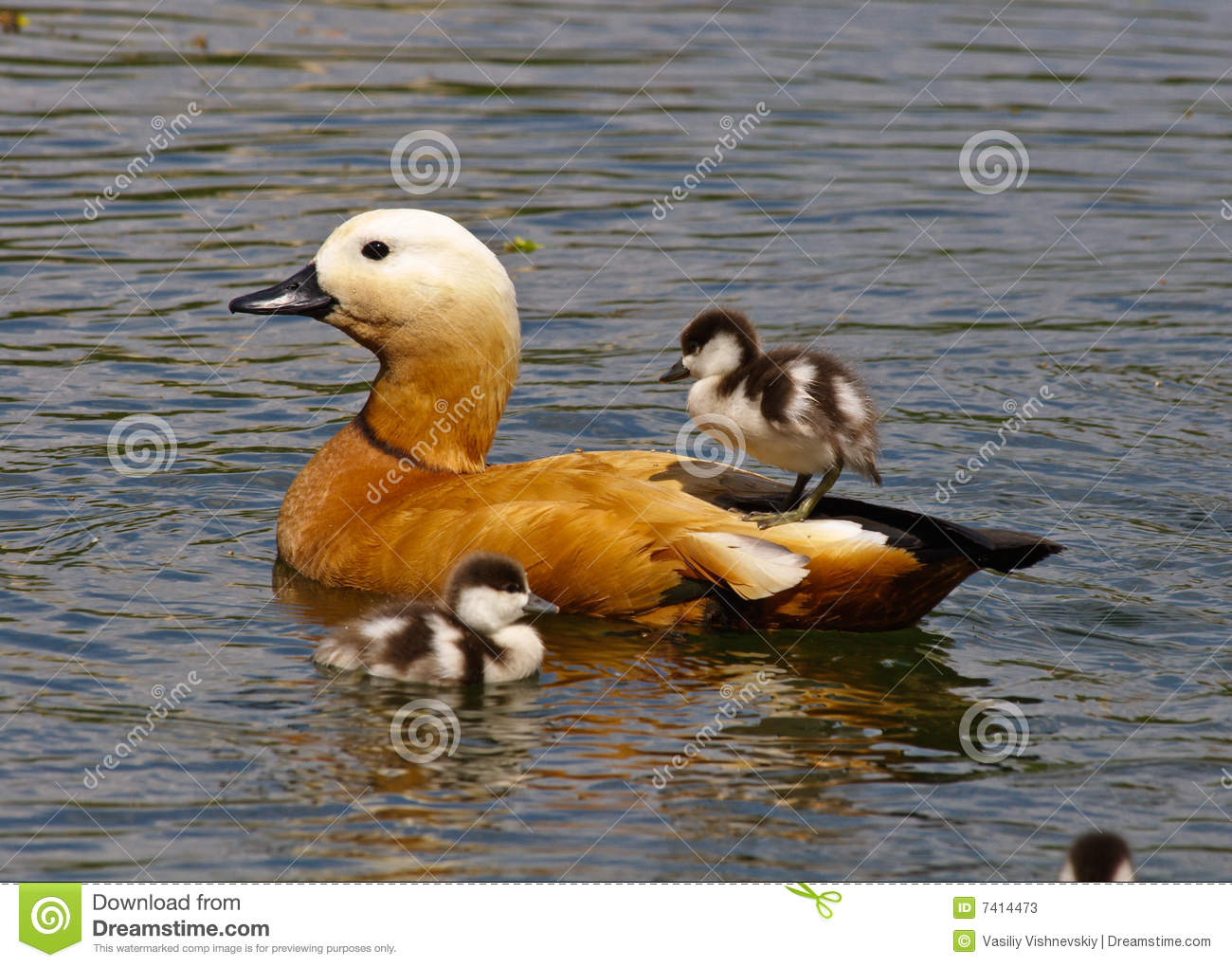 Ruddy Shelduck (Tadorna Ferruginea) Stock Photos.