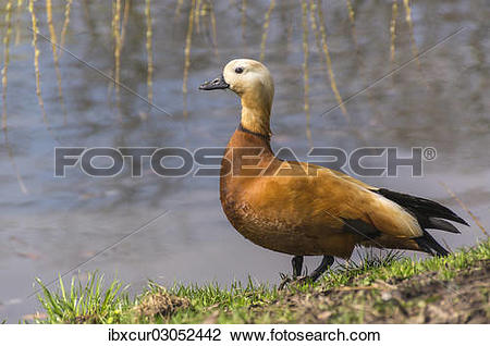 "Stock Photo of ""Ruddy Shelduck (Tadorna ferruginea), Khamovniki."
