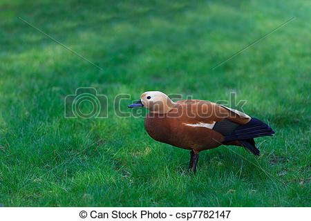Picture of Ruddy Shelduck, known as the Brahminy Duck, Tadorna.