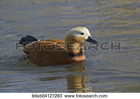 Stock Photo of Ruddy Shelduck (Tadorna ferruginea), Brandenburg.