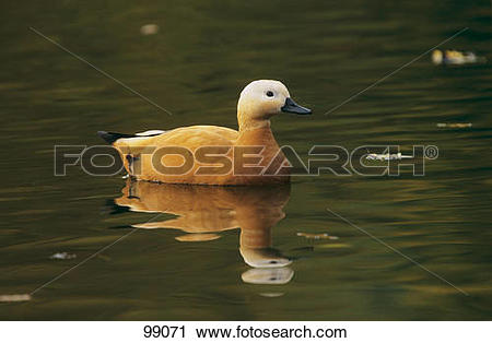 Stock Photography of Ruddy Shelduck (female).