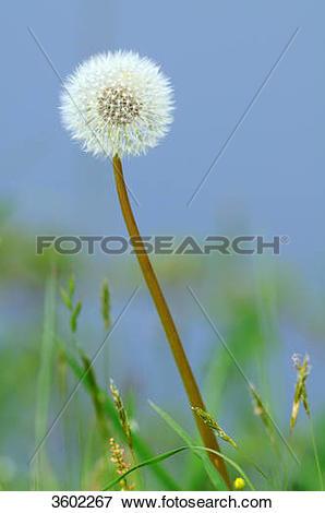 Picture of Dandelion, Taraxacum sect. Ruderalia 3602267.