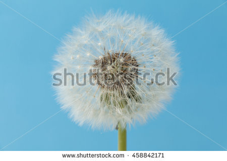 Taraxacum Sect Ruderalia Stock Photos, Royalty.