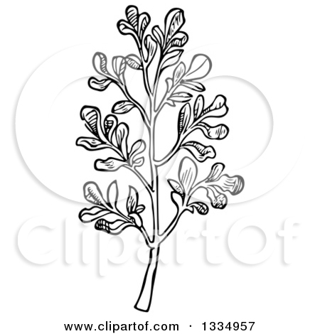 Clipart of a Black and White Woodcut Herbal Rue Plant.