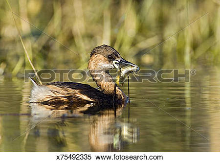 Stock Image of Little Grebe, Tachybaptus ruficollis, in lake with.