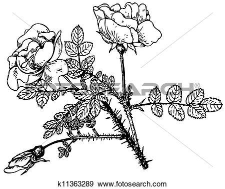 Clip Art of Plant Rosa rugosa alboplena k11363289.
