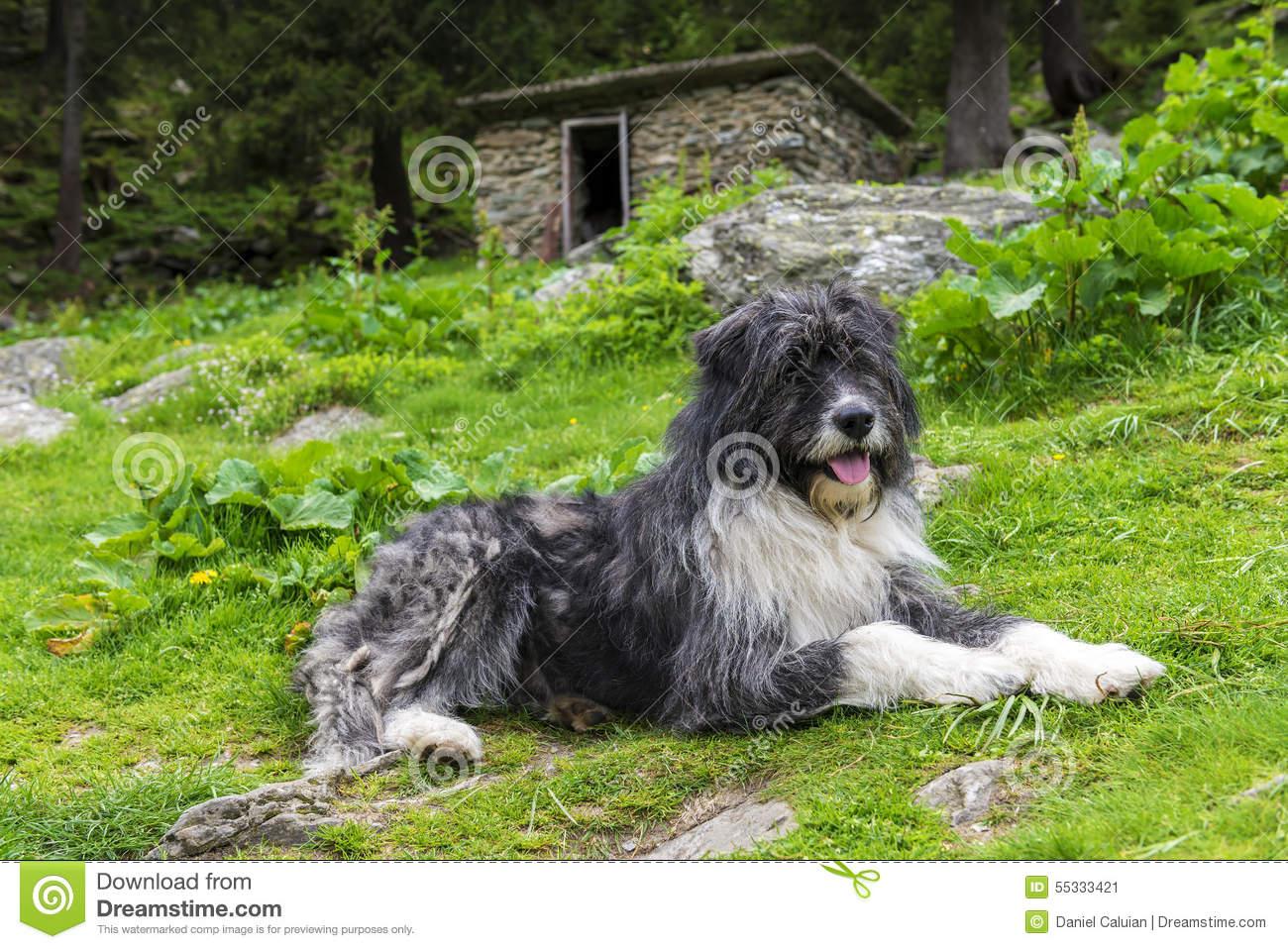Mioritic sheepdog clipart.