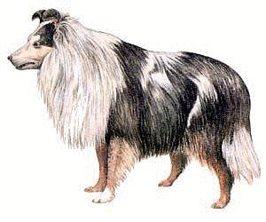 Croatian Sheepdog Clipart.