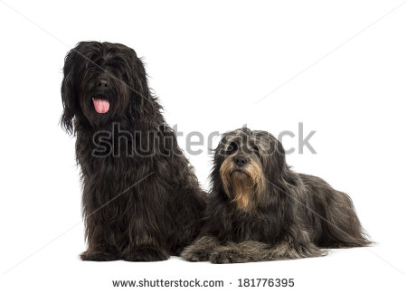 Catalan sheepdog clipart.