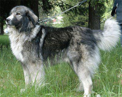 Carpathian Sheepdog Clipart.