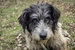 Romanian Sheepdog Stock Photos, Images, & Pictures.