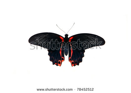 Papilio Rumanzovia Stock Photos, Royalty.