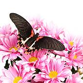 Stock Photo of Papilio rumanzovia k11991523.