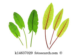 Rumex acetosa Stock Photo Images. 115 rumex acetosa royalty free.