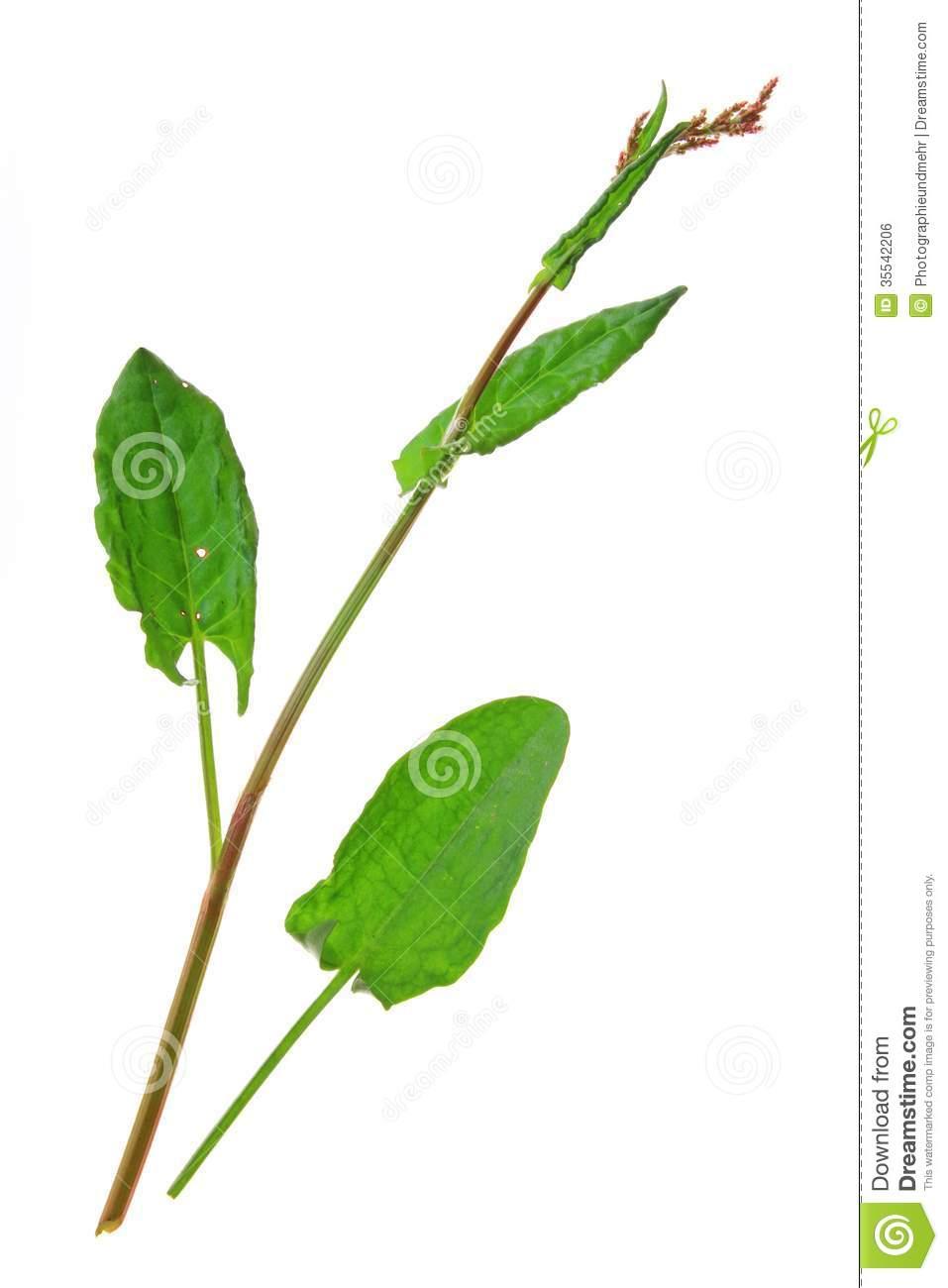 Garden Sorrel (Rumex Acetosa) Royalty Free Stock Image.