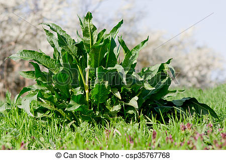 Stock Image of Meadow dock (Rumex obtusifolius L.) plants in the.