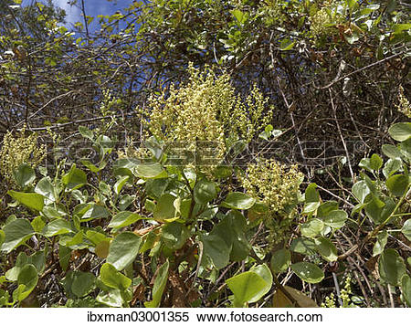 "Stock Image of ""Canary Islands Sorrel (Rumex lunaria), La Gomera."