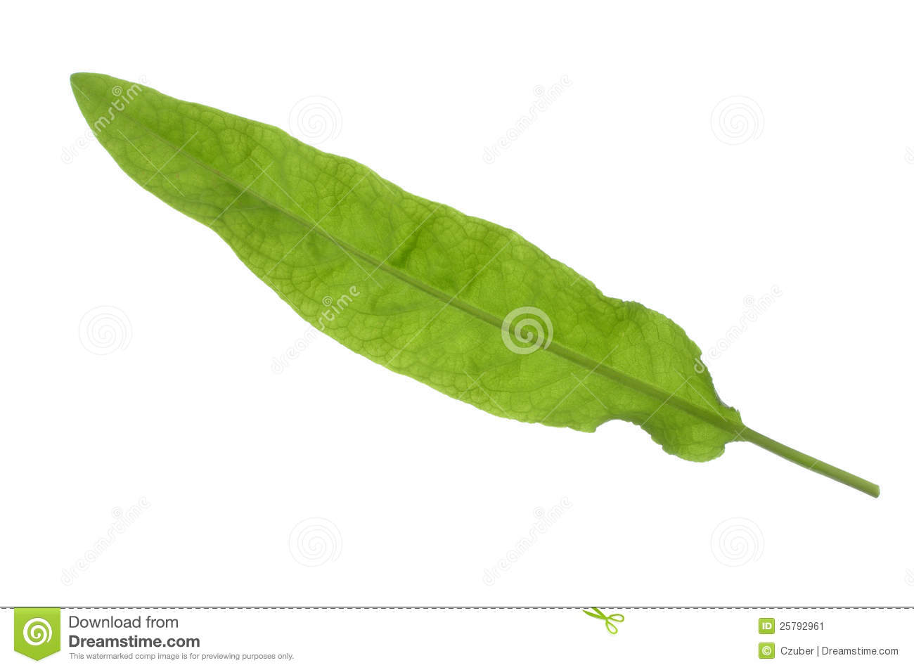Rumex Dock Leaf Stock Image.
