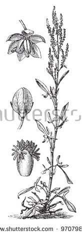 Rumex Stock Vectors & Vector Clip Art.