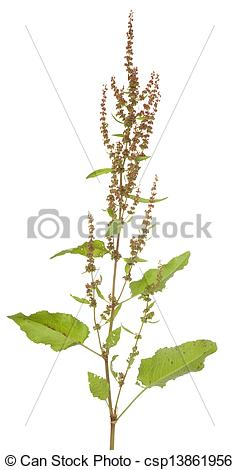 Stock Images of Rumex Hydrolapathum.