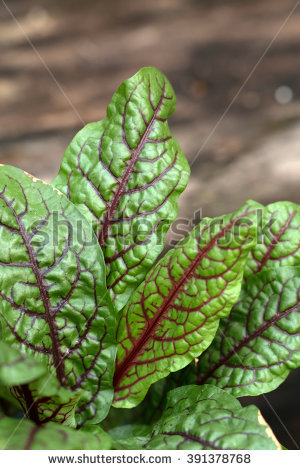 "red_veined_sorrel"" Stock Photos, Royalty."