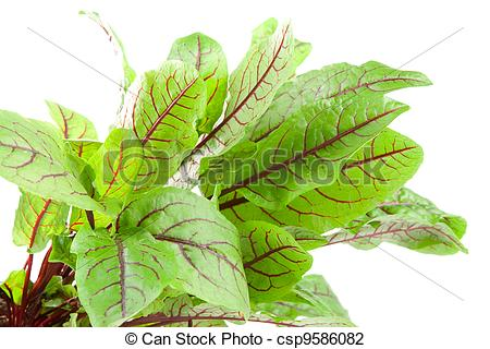 Stock Photo of Bloodwort, rumex sanguineus on white background.
