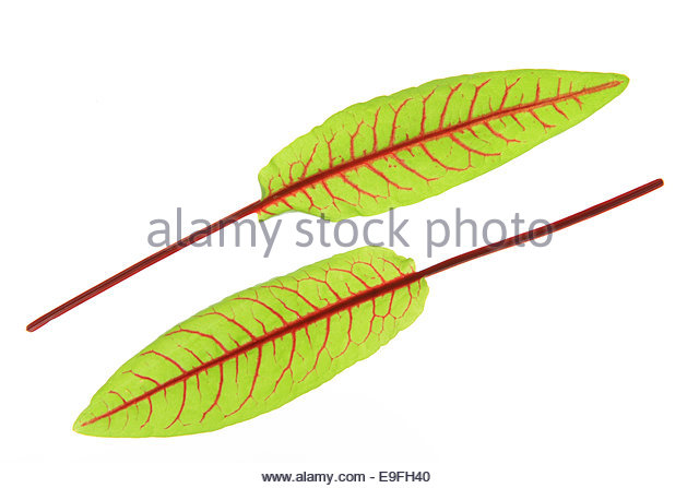 Sorrel Cut Out Stock Images & Pictures.