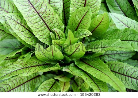 Rumex sanguineus Stock Photos, Images, & Pictures.