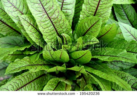 Green Leaves Dark Red Veins Blood Stock Photo 195420236.