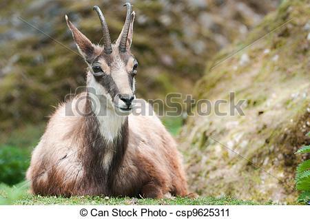 Stock Photography of chamois lat rupicapra rupicapra csp9625311.