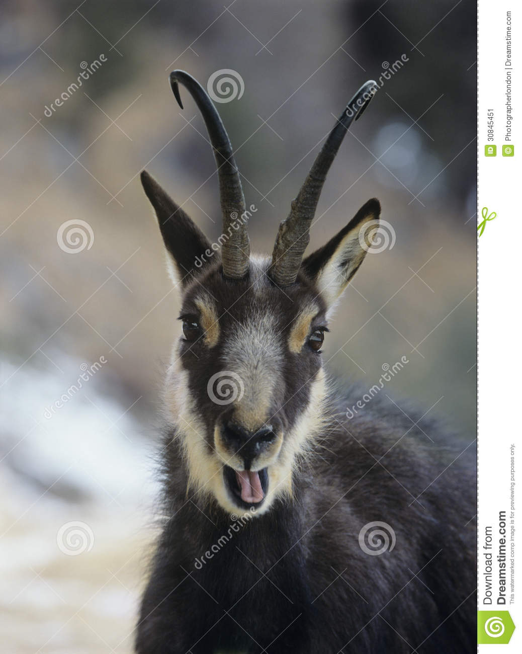 Chamois (rupicapra Rupicapra) Head And Shoulders Stock Image.