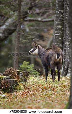 Stock Images of Chamois(Rupicapra rupicapra) with hair on back.